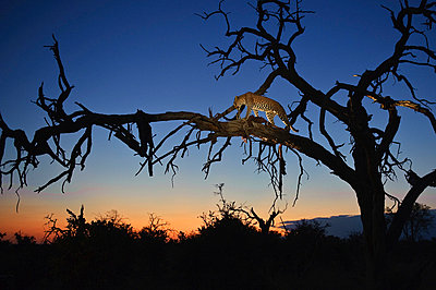 Leopard in tree at night fall - p884m863368 by Sergey Gorshkov photography
