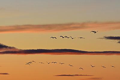 Kranichschwarm fliegt in den Sonnenuntergang - p235m2021752 von KuS