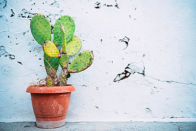 Greece, Milos, Cactus in front of cracked wall - p300m1206320 by Gemma Ferrando