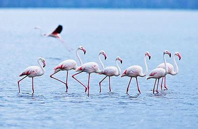 Flamingos in single file - p533m1152678 by Böhm Monika