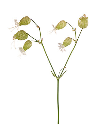 Bladder Campion or Maidenstears, Silene vulgaris, on Y-Shaped Stem against White Background - p694m2068439 by Lori Adams
