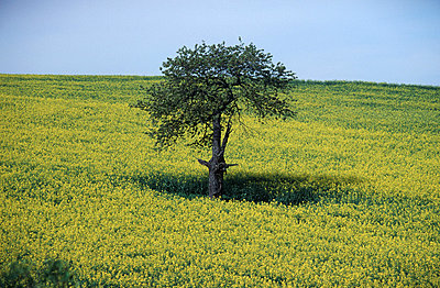 Tree on a field - p2680084 by Andres Wertheim