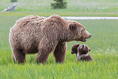USA, Alaska, Lake Clark National Park and Preserve, Brown bear with cubs - p300m911247f by Fotofeeling
