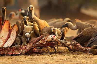 White-backed vultures, Gyps africanus, feeding on buffalo carcass - p924m805932f by David Fettes