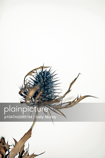 Dried blue sea holly thistle head and foliage against white background - p1047m2285194 by Sally Mundy
