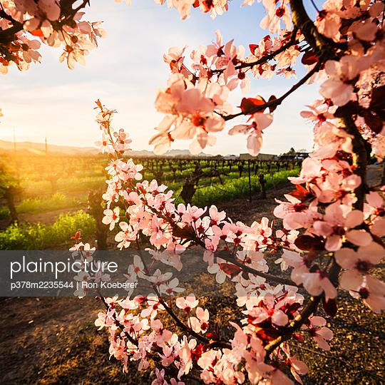 Pink plum blossoms - p378m2235544 by Ron Koeberer