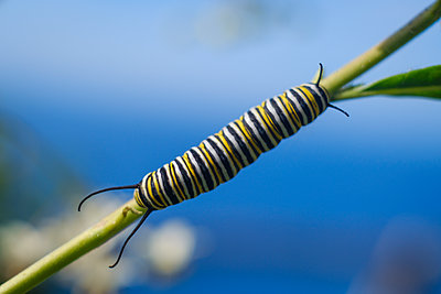 Portugal, Madeira, Caterpillar, Monarch butterfly - p1600m2175640 by Ole Spata