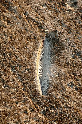 Gull feather on the North Sea beach - p382m2053112 by Anna Matzen