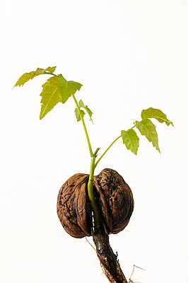 Walnut seedling - p470m934086 by Ingrid Michel