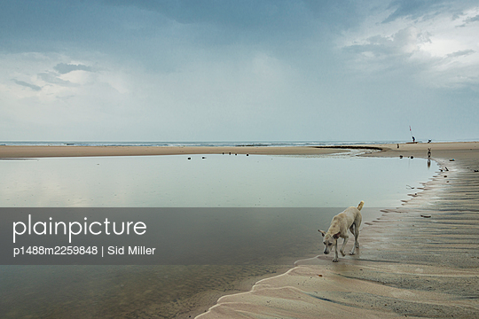 India, Dog on the beach - p1488m2259848 by Sid Miller
