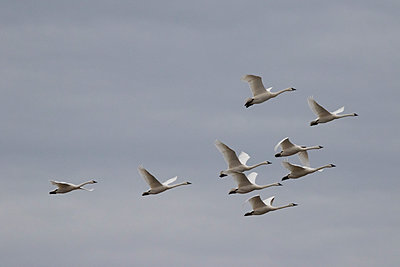 Tundra Swans flying overhead - p1480m2148211 by Brian W. Downs