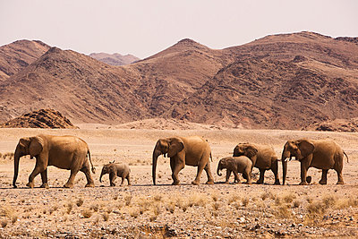 African Elephant herd crossing desert - p884m864112 by Theo Allofs