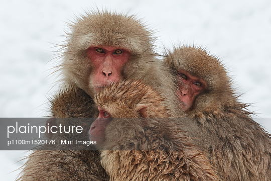 Japanese Macaque, Macaca fuscata, mother and two young huddling together for warmth in the winter snow. - p1100m1520176 by Mint Images