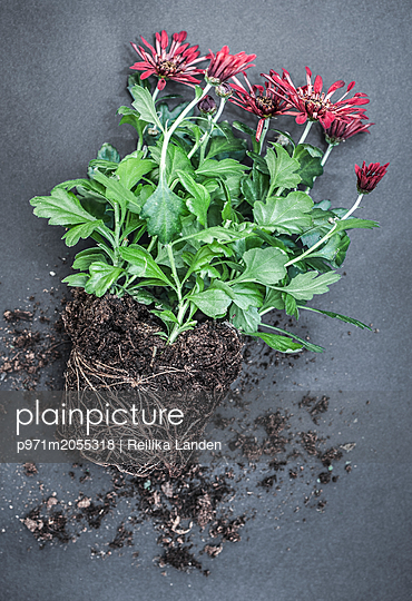 Uprooted plant - p971m2055318 by Reilika Landen