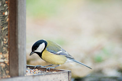 Great tit (Parus major) perched on bird feeder - p624m1045715f by Odilon Dimier
