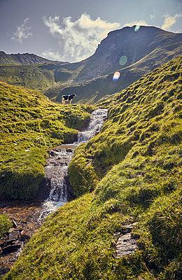 Cow at mountain stream against mountain range - p704m1476008 by Daniel Roos