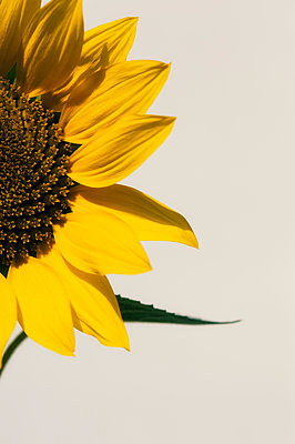 Close-up of Sunflower - p1047m1203548 by Sally Mundy