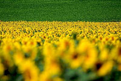 Field of sunflowers - p813m857015 by B.Jaubert