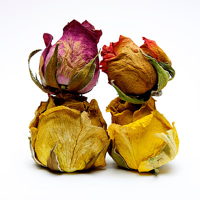 Wilted roses - p813m908610 by B.Jaubert