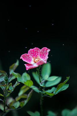 Hibiskusblüte mit Ameise - p919m2217706 von Beowulf Sheehan