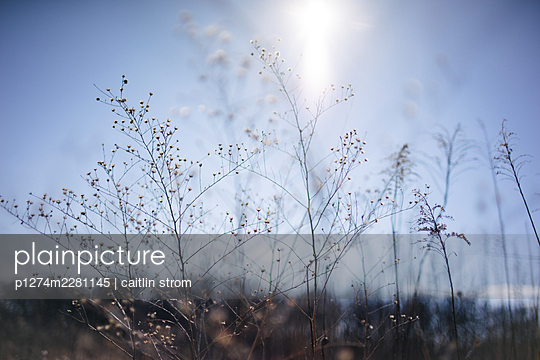 Goldenrod stalks in winter - p1274m2281145 by caitlin strom