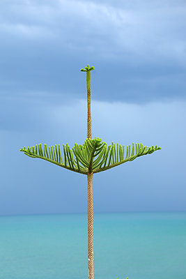 Pencil pine - p1016m2192832 by Jochen Knobloch
