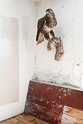 Taxidermied buzzard - p1159m943688 by Anna Rozkosny