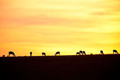 Silhouettes of Thomson Gazelles - p533m1425572 by Böhm Monika