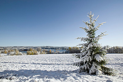 Snow covered fir tree in winter, sweden. - p5755212f by Roine Magnusson