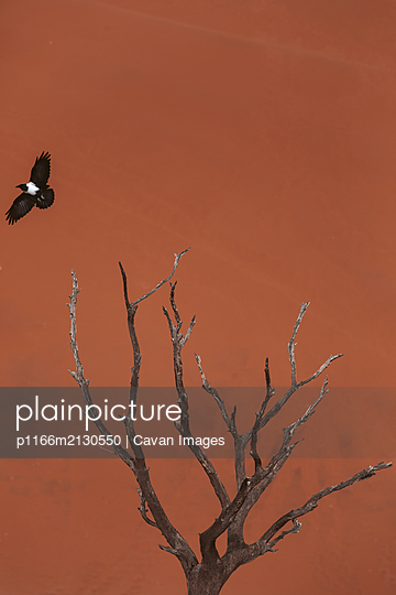 Dry tree with a bird from the Namibian desert - p1166m2130550 by Cavan Images