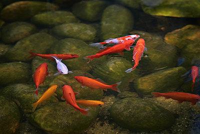 Goldfische im Teich - p227m1476546 von Uwe Nölke