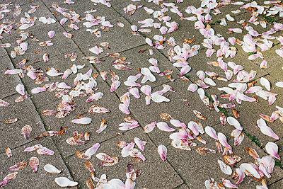 Magnolienblüten auf dem Boden verstreut - p586m1068008 von Kniel Synnatzschke