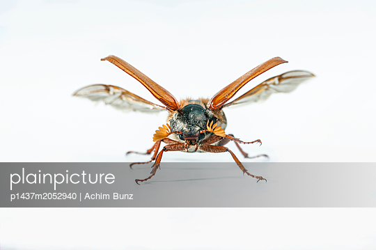 May beetle, wings, Melolontha - p1437m2052940 by Achim Bunz