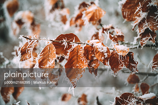 Germany, Baden-Wrttemberg, Constance district, Close-up of leaves covered with frost - p300m2166395 by Markus Keller