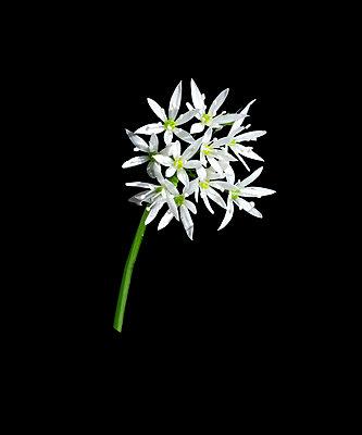 Flowering Wild Garlic - p1562m2187019 by chinch gryniewicz