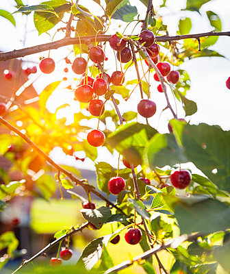 Close up of ripe cherries on sunlit cherry tree - p429m1156067 by Henglein and Steets