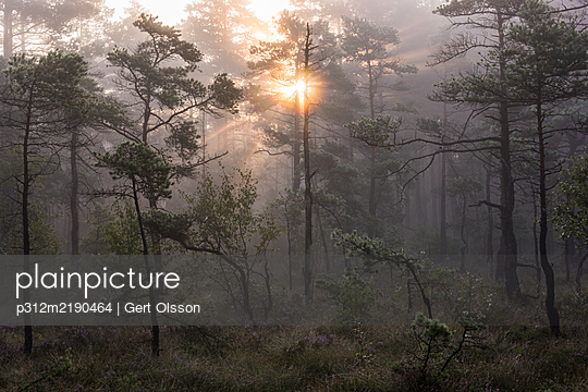 Sunrise over forest - p312m2190464 by Gert Olsson