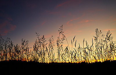 Grasses in sunset - p1312m2116848 by Axel Killian