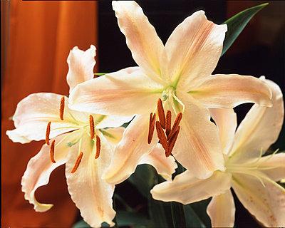 Weiße Lilie - p2682052 von Oliver Rüther