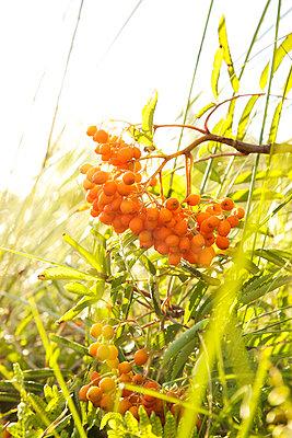 Rowan berries - p606m890821 by Iris Friedrich