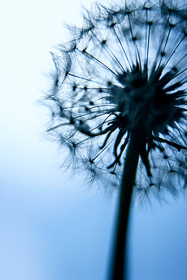 Dandelion clock close-up - p879m1477241 by nico