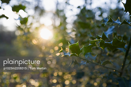 Sunshine over tranquil holly tree branches - p1023m2208315 by Tom Merton