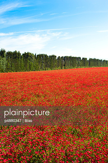 Fields of poppies - p4880347 by Bias