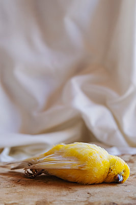 Yellow Canary - p1655m2233676 by lindsay basson