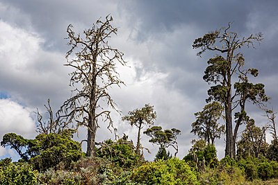 Aberdare National Park, Nyandarua County. Tall cedar trees in the Aberdare National Park. - p652m861528 by Nigel Pavitt