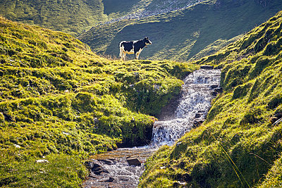 Cow at mountain stream - p704m1476009 by Daniel Roos