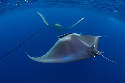 Spinetail devil rays (Mobula mobular) engaged in sexual courtship in Honda Bay, Palawan, The Philippines, Southeast Asia - p871m2122918 by Duncan Murrell