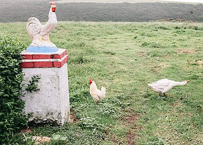 Hahn und Gans laufen frei herum - p1085m1476600 von David Carreno Hansen