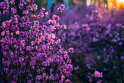 Pink wildflowers at evening twilight - p300m2062893 by Vasily Pindyurin