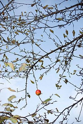 Apfel am Baum - p0750306 von Lukasz Chrobok